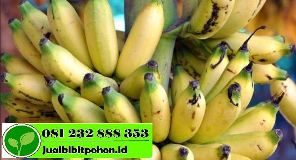 pisang lampung ok 1 1