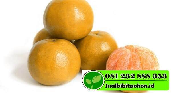 trik indah nevertari dapatkan jeruk manis FkB1Mz3kpk 1 1