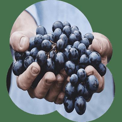 Jual Bibit Anggur Kota Kendari