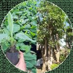 Jual bibit pohon dan tanaman