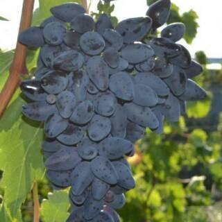 Jual Bibit Anggur Kota Kupang