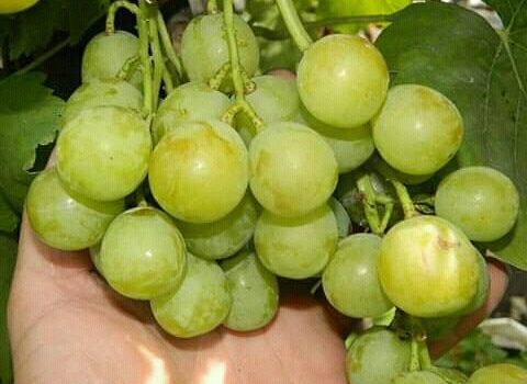 Jual Bibit Anggur Kota Mamuju