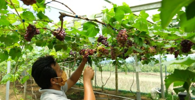 Jual Bibit Anggur Kota Padang