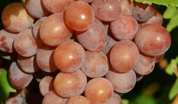 Jual Bibit Anggur Kota Serang