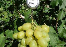 Jual Bibit Anggur Kota Sofifi