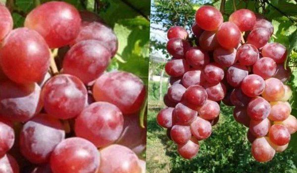 Jual Bibit Anggur Kota Pangkalpinang