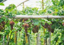 Jual Bibit Anggur Kota Palu