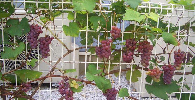 Jual Bibit Anggur Kota Yogyakarta