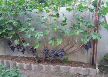 Jual Bibit Anggur Kota Pekanbaru
