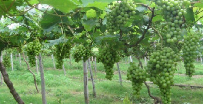 Jual Bibit Anggur Kota Palembang