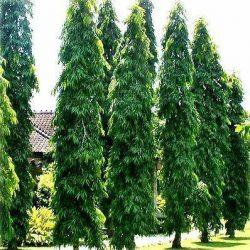 jual-pohon-glodokan-tiang.jpg